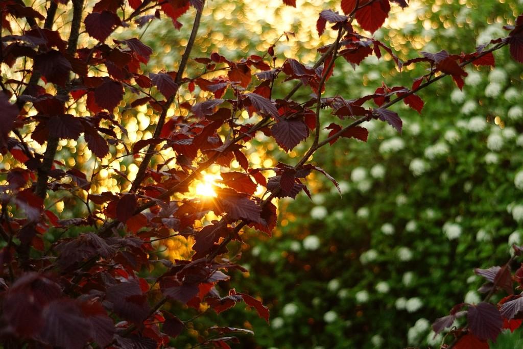 punaseleheline-sarapuu-paikeseloojang