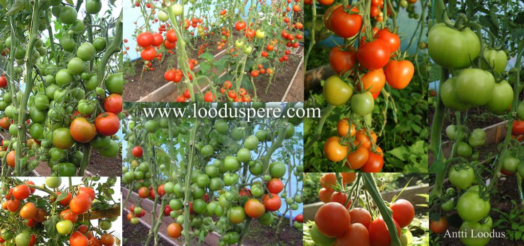 tomat-tomatid-palju-suur-saak-mahla