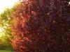 Punaseleheline-Sarapuu-Fuscorubra-02