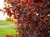 Punaseleheline-Sarapuu-Fuscorubra-04