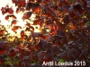 Punaseleheline-Sarapuu-Fuscorubra-06