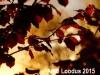 Punaseleheline-Sarapuu-Fuscorubra-08
