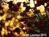 Punaseleheline-Sarapuu-Fuscorubra-11