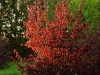 Punaseleheline-Sarapuu-Fuscorubra-12