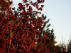 Punaseleheline-Sarapuu-Fuscorubra-15