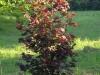 Punaseleheline sarapuu