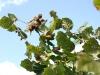 Sarapuu - pähklid - hea suur saak