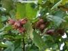 Punaseleheline sarapuu - suve lõpp