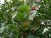 Punaseleheline sarapuu - viljad küpsemas