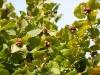 Sarapuu - pähklid