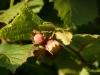 Pähkel - pähklid - sarapuu