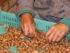 Pähklite sorteerimine