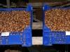 Pähklisaak - Sarapuu pähklid