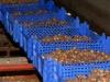 Sarapuu pähklid - pähklisaak